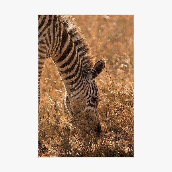 Zebra in Golden Light Photographic Print