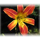 Day-Lily Beauty  by teresa731