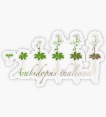 A. thaliana development Transparent Sticker
