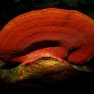 orange bracket fungi by Helenvandy