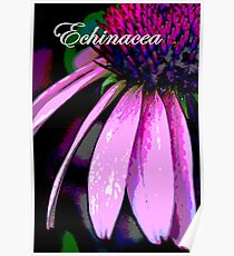 Echinacea Poster Poster