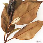 FICUS LEAVES by Thomas Barker-Detwiler