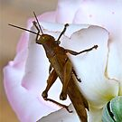 Cricket Rose by Penny Smith