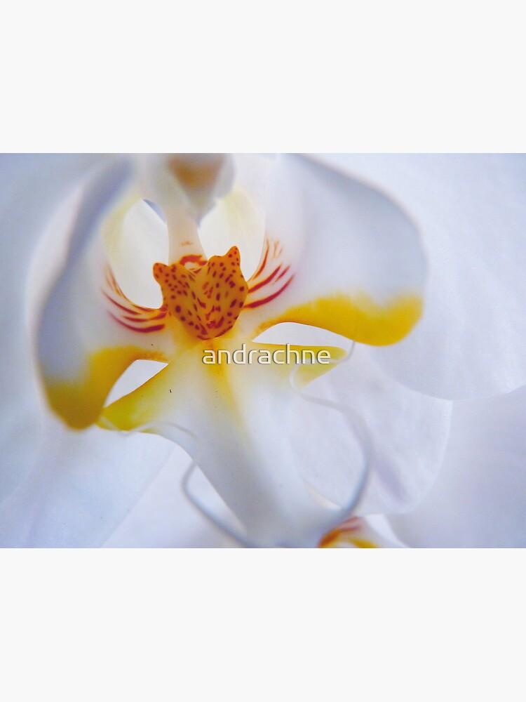 Phalaenopsis aphrodite  by andrachne