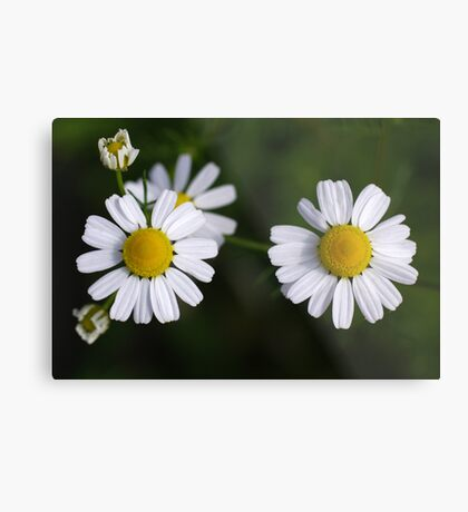 daisy days II Metal Print