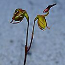 Flying Duck Orchid, Open & Closed by JuliaKHarwood