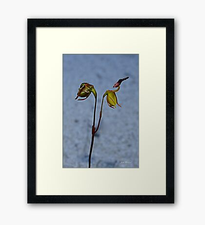 Flying Duck Orchid, Open & Closed Framed Print