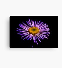 Showy (Very Showy) Aster Canvas Print