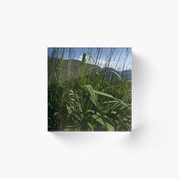 Common Reed (Phragmites australis) Acrylic Block