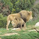 Handsome Male Lions at Werribee Zoo. Vic. Aust. by Rita Blom