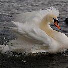 Swan beauty by Alexa Pereira