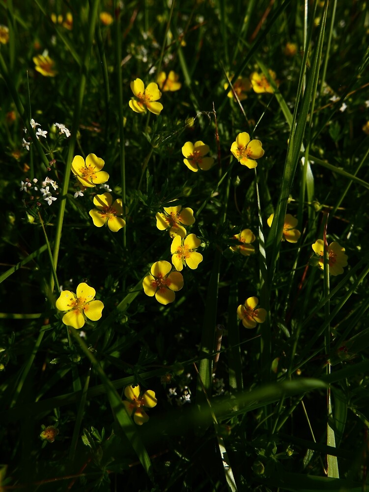 Common Tormentil (Potentilla erecta) by IOMWildFlowers