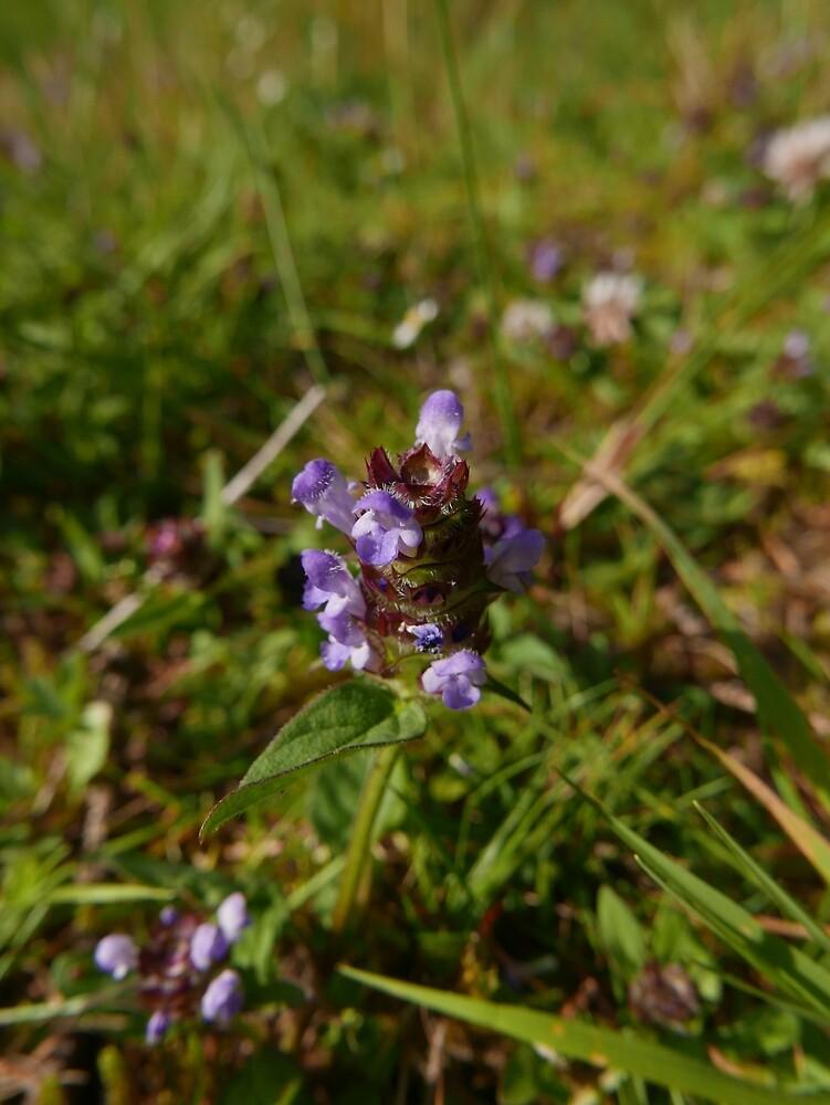 Self-heal (Prunella vulgaris) by IOMWildFlowers