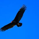 Vulture in flight by barnsis