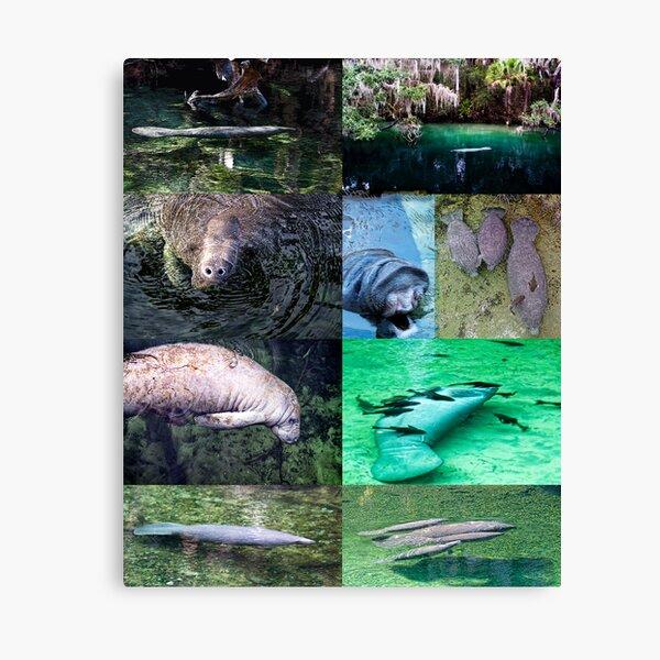 Manatee montage Canvas Print