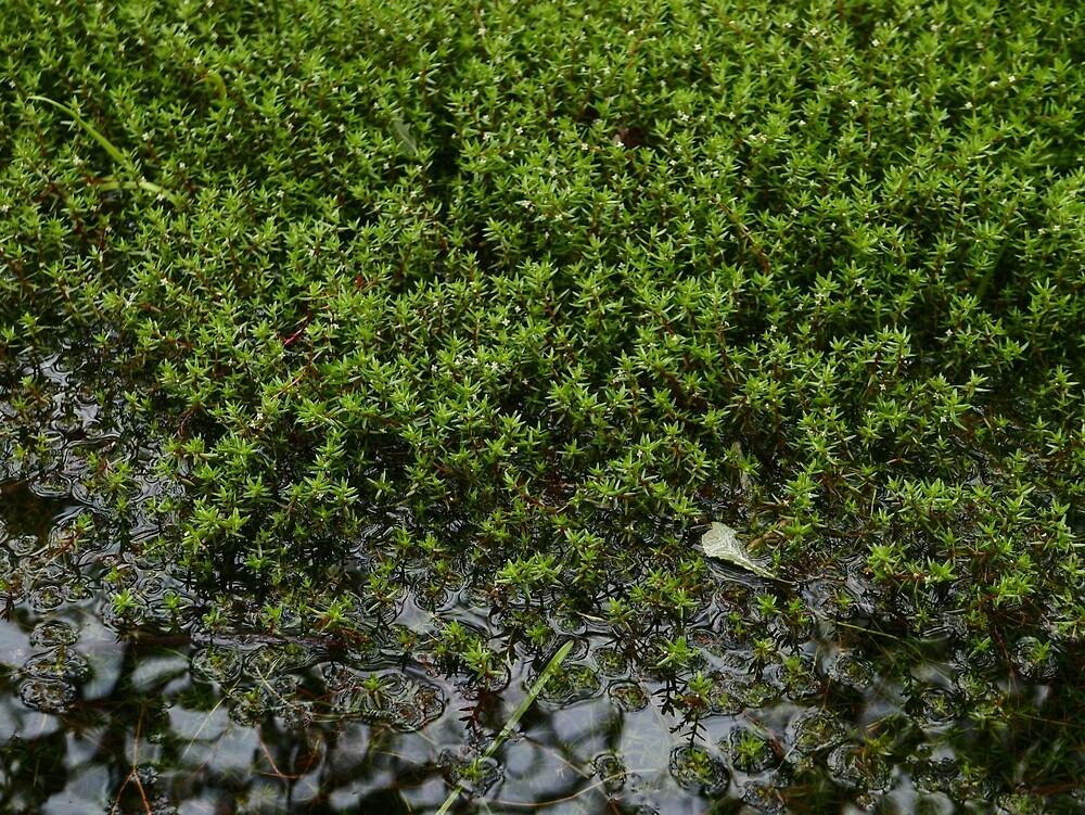 New Zealand Pigmyweed (Crassula helmsii) by IOMWildFlowers