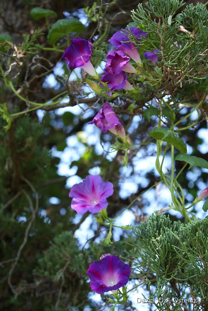 """Purple Climbers. by David """"Oz""""  Osterczy"""