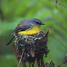 EastonYellow Robin by Donovan Wilson