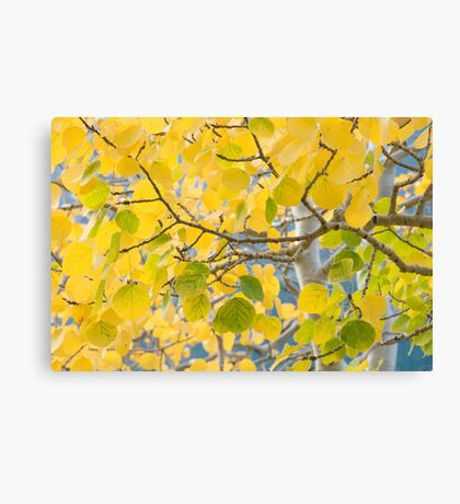 Golden leaves in RMNP Canvas Print
