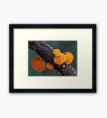 Rainforest fungi,Lamington NP,Australia Framed Print
