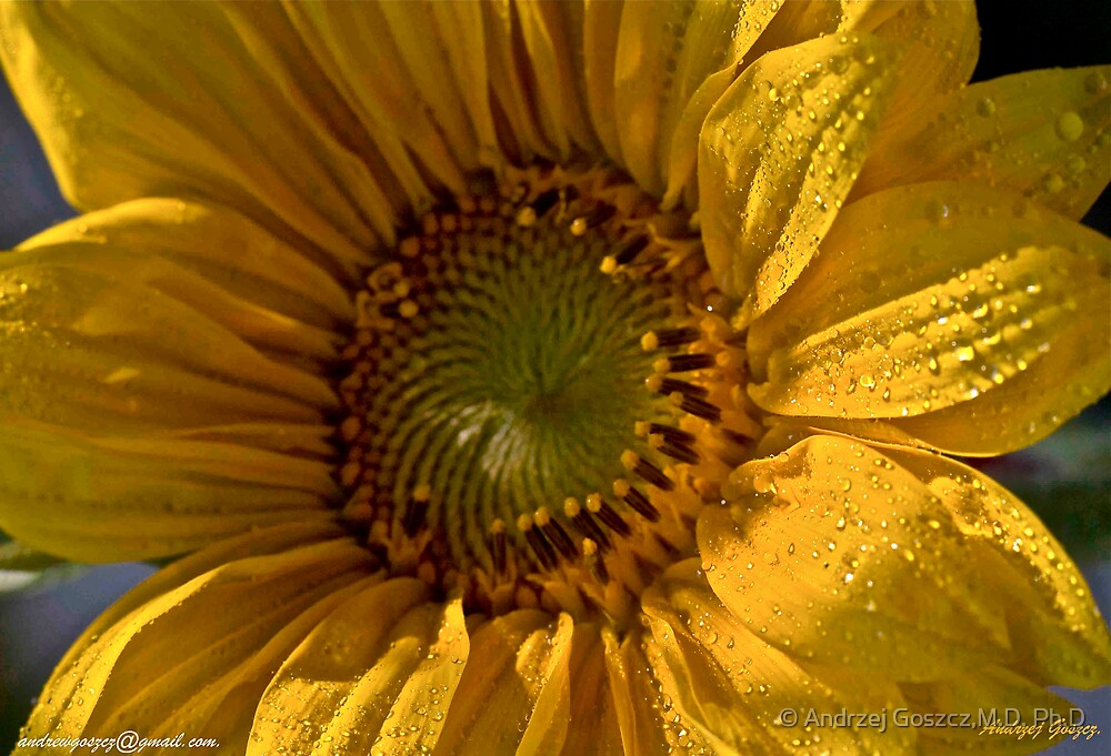 Sunflower  .  tribute to Sun of Jamaica .  My rememberance  by  Brown Sugar . by © Andrzej Goszcz,M.D. Ph.D