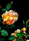 Heavy is the head of beauty- Apricot Rose by Beth Brightman