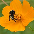 Bee on Yellow Flower by Bill Colman