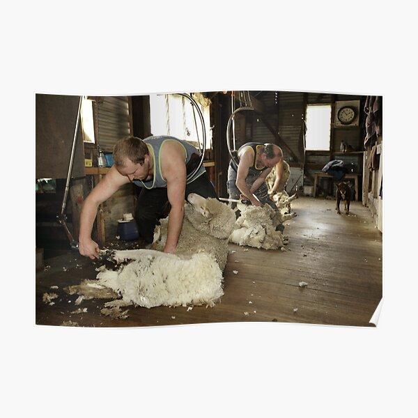 Shearing, Tooborac, Victoria, Australia Poster