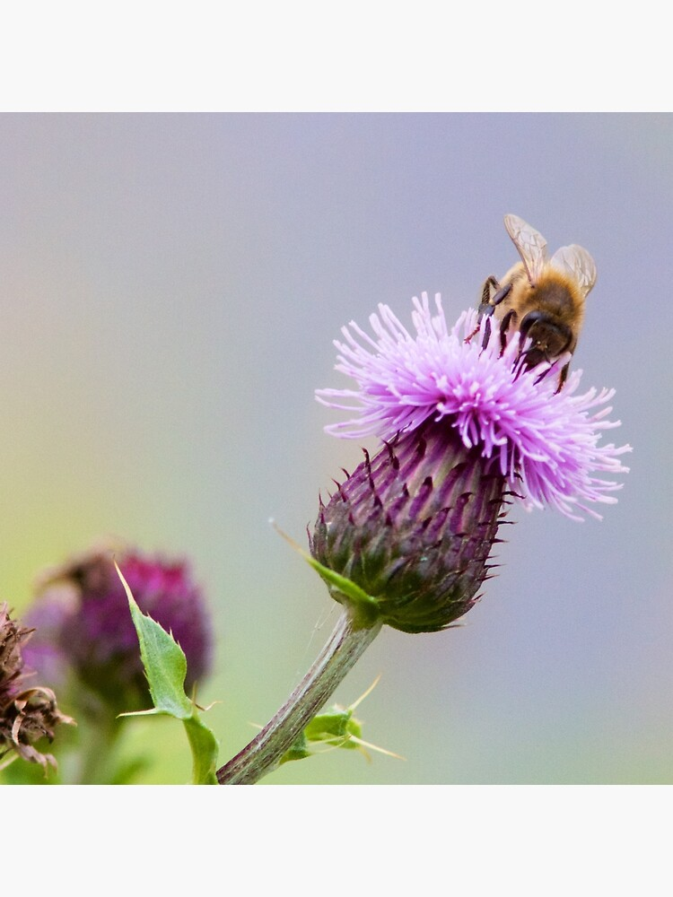 Honey Bee (Apis Mellifera) on a Purple Thistle by robcole
