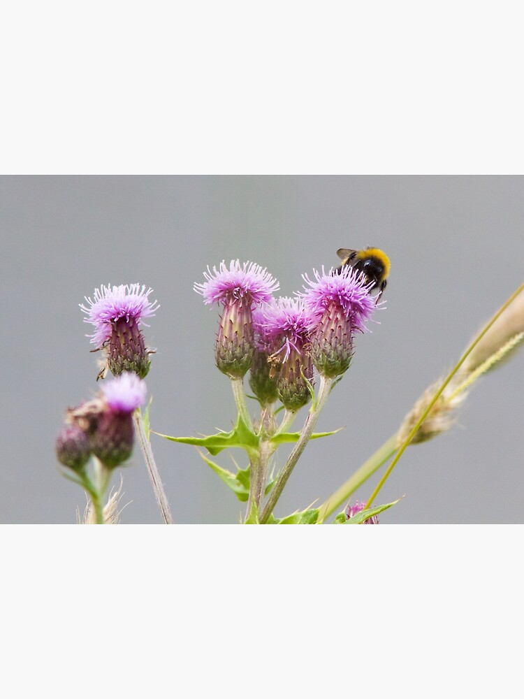 Bumble Bee Collecting Nectar from a Thistle by robcole