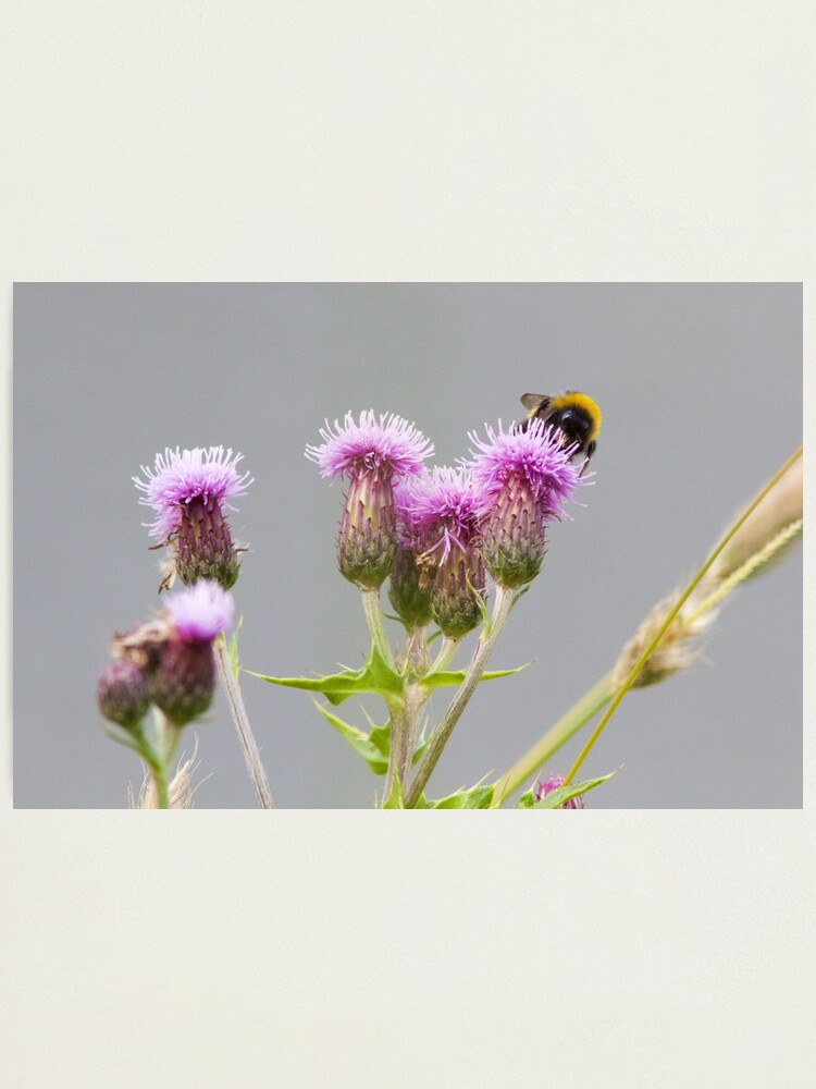 Alternate view of Bumble Bee Collecting Nectar from a Thistle Photographic Print
