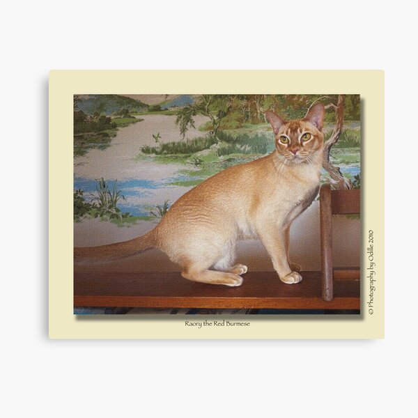 cat calendar #6 Roary the Red Burmese  Canvas Print