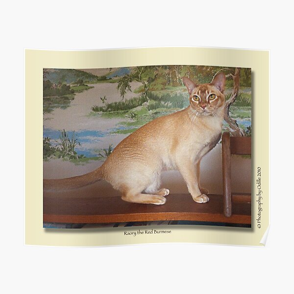 cat calendar #6 Roary the Red Burmese  Poster