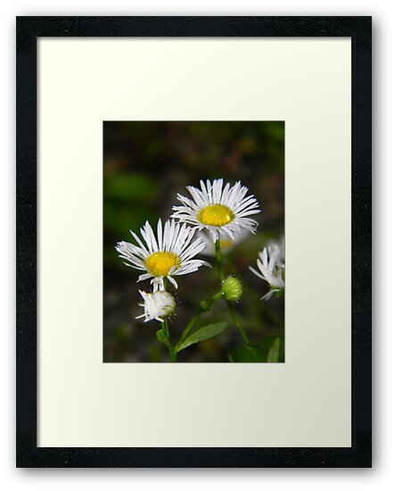 White aster after a rainstorm. by William Brennan