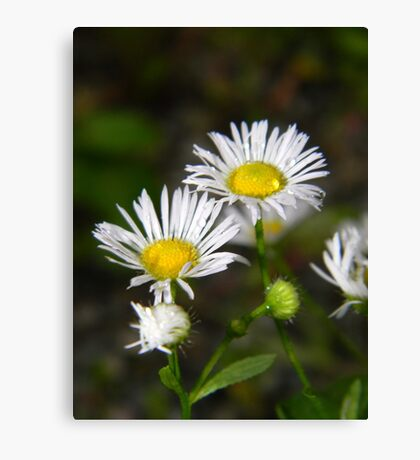 White aster after a rainstorm. Canvas Print
