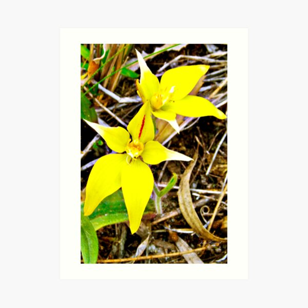 Cow slip orchid, aladenia flava Art Print