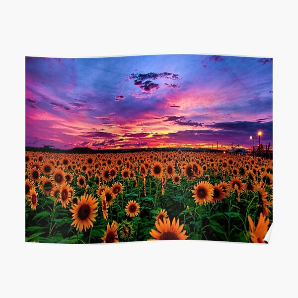 Sunflower field series #2 – Sunset - by Jéanpaul Ferro Poster