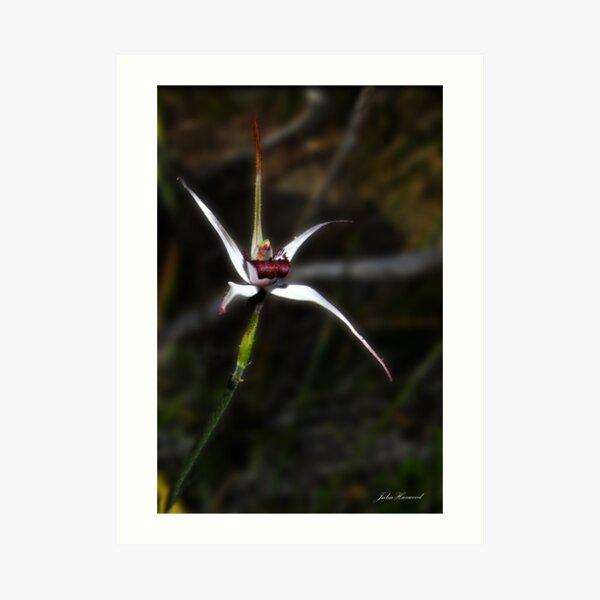 Exotic spider orchid, Caladenia novalis Art Print