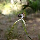 Giant Spider Orchid, Caladenia excelsa by JuliaKHarwood