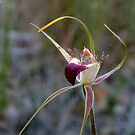 Rusty Spider Orchid, Caladenia ferruginea by JuliaKHarwood