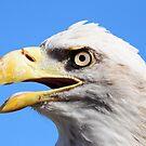 American Bald Eagle by TJ Baccari Photography