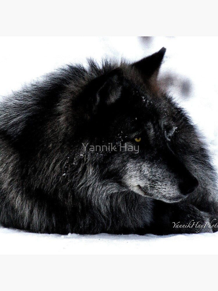 Don't Wake Resting Wolves by Photograph2u