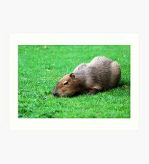 Capybara grazing on the lawn Art Print