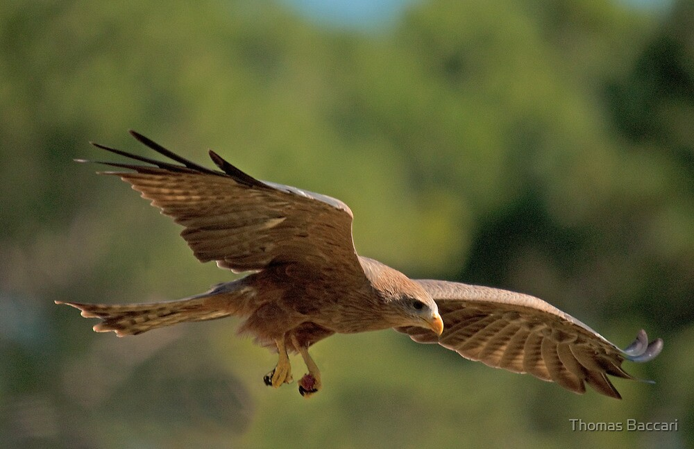 Hawk Picks Up Some Food by TJ Baccari Photography