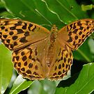 Silver washed fritillary by Rivendell7
