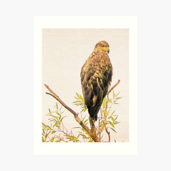 Juvenile Bald Eagle Keeps Watch Art Print