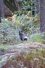 Roe Deer buck in woodland by Andy Beattie