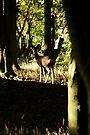 Roe Deer doe in woodland 003 by Andy Beattie