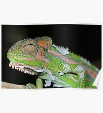 Cape Dwarf Chameleon Poster