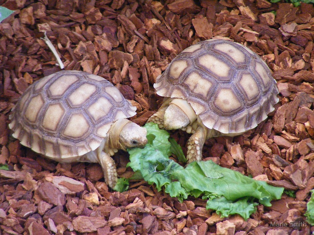Sulcata Tortoises by Marie Smith